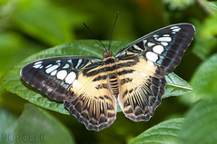 "Clipper Butterfly ""Parthenos Sylvia"" [Explored] (Jim Purcell) Tags: arizona usa digital photoshop pentax tucson az science lepidoptera photograph handheld dslr biology sciences animalia clipper arthropoda topaz entomology adjust parthenossylvia tucsonbotanicalgardens insecta nymphalidae parthenos denoise pimacounty butterflymagic pentaxk20d parthenini studyofinsects studyofnaturalsciences arthopodology studyofinvertebrateanimals"