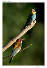 Gupier d'Europe | European bee-eater | Merops Apiaster (BerColly) Tags: summer france birds google flickr auvergne oisea