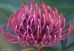 Waratah Bloom (loobyloo55) Tags: pink flower nature flora purple nsw waratah floraandfauna coth5