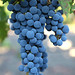 2012 Dilworth Cabernet Harvest 0020