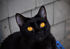 The Resident Halloween Cat (BKHagar *Kim*) Tags: dahlia orange black halloween cat blackcat al eyes feline alabama kitty athens day5 challenge blackdahlia bkhagar