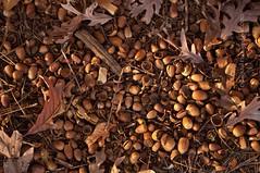 Squirrel Heaven (Doug.Mall) Tags: fall nature nuts hcs clichsaturday dougmallnikond5000