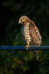 Broadwing Hawk in Profile (jeff_a_goldberg) Tags: illinois unitedstates oglesby broadwingedhawk highqualityanimals