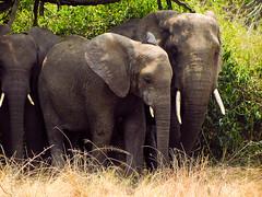 elephants! (ⓜⓘⓒⓒⓗⓔ) Tags: uganda black africa nera canon travel trip animals wild wildlife queen elizabeth national park savanna savana elefanti natura nature green puppy