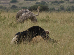 Male And Female Ostrich Mating Dance (paulinuk99999 - just no time :() Tags: paulinuk99999 nairobinationalpark kenya ostrich male female mating dance ritual full plumage sal70400g