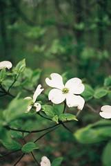 41509RLjoe718007-R3-084 (Doug J.) Tags: agfa vista 200 film 35mm canon eos rebelg 40mm f28 leaves flowers buds spring cloudy wet dof bokeh dogwood white forest bush trees