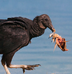 Fish head, Fish head ... (ac4photos.) Tags: vulture fish prey nature wildlife animal bird florida naturephotography wildlifephotography animalphotography birdphotography nikon d300s tamron ac4photos ac