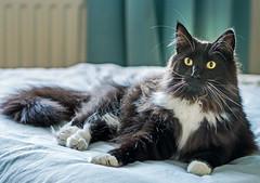 Percy on the bed (Olympus OMD EM5II & mZuiko 75mm f1.8 Prime) (1 of 1) (markdbaynham) Tags: percy cat feline pet cute olympus omd oly em5 em5ii csc mirrorless evil mft microfourthirds m43 m43rd micro43 zd mz zuiko mzuiko zuikolic 17mm f18 prime