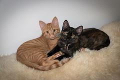 IMG_8035 (jaglazier) Tags: 2016 81816 animals august blackie bloomington cats copyright2016jamesaglazier indiana isis kittens mammals usa vash cute tiger