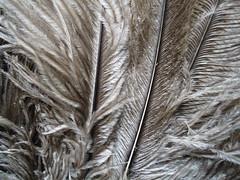 Ostrich feathers (duster) (MAURO CATEB) Tags: detail detalhe ostrich avestruz feather pena duster espanador