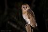 Masked Owl -2778 (Henry.Cook) Tags: maskedowl owl tytonovaehollandiae tyto bird birding juvenile baby cute predation possum ringtailed