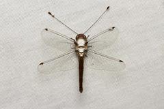 Neuroptera (Owlfly sp.) - Costa Rica (Nick Dean1) Tags: neuroptera owlfly animalia arthropoda arthropod hexapoda hexapod insect insecta canascastilla guanacaste lacruz costarica