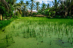 Green water (dominiquesainthilaire) Tags: cambodge cambodia asie asia riz rice green vert water algues eau nikon ni nikond7100 paysage landscapes waterscapes rizire ricefield coconut trees cocotiers
