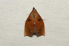 Lepidoptera sp. (Moth) - Costa Rica (Nick Dean1) Tags: lepidoptera moth arthropoda arthropod hexapoda hexapod insect insecta costarica canon canon7d macro guanacaste lacruz canascastilla