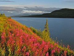 Fireweed Along Big Fox Lake (MIKOFOX  Show Your EXIF!) Tags: canada bigfoxlake fireweed yukon lake water mountains a720 july plant landscape canona720is flower colorpink showyourexif mikofox summer clouds 58348mm
