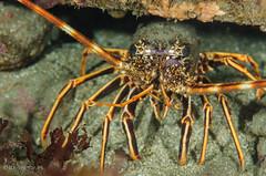DSC_4525 (bajo_el_mar) Tags: 2016 asturias cantbrico langosta lastres palinuruselephas underwater crustceo fotosub