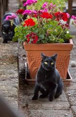 L'agguato (nicolaneri) Tags: gattonero gatto