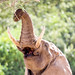 Arnold The Elephant Bull Taking Down Branches, Namibia