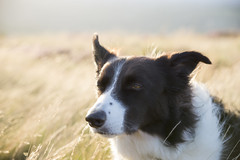 Summer breeze (Keartona) Tags: poppy bordercollie dog head portrait summer breeze fur sunlight england august