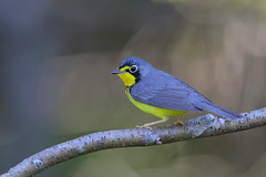 Canada Warbler (Greg Lavaty Photography) Tags: canadawarbler cardellinacanadensis june newhampshire newenglad male bird nature wildlife