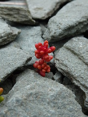 Stonecrop (E&T - Photography) Tags: stonecrop red pink sony dsc cybershot hx90 vetplant vetkruid grey scotland england great britain stone color contrast plant macro closeup crassulaceae schotland engeland