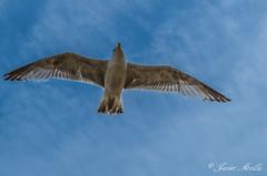 Surcando los cielos en libertad.. (Javier Arcilla) Tags: cielo azul aire animales aves gaviota nubes pentax pentaxk50 k50 pentax1855mm 1855mm brighton