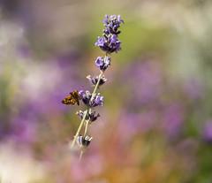 Just You & Me (jeanmarie (been working lots of overtime)) Tags: jeanmarieshelton jeanmarie skipper butterfly flower flora garden outdoors purple lavender bokeh nikon nature macro