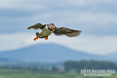 Puffin in flight (Steve Moore-Vale) Tags: atlanticpuffin birds england farneislands florafauna flying fraterculaarctica northumberland places unitedkingdom wildlife