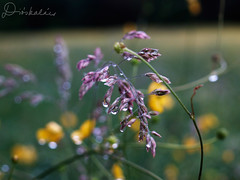 Tavasz / Spring (diskalcs) Tags: tavasz spring cseppek drops rt meadow bokeh dof