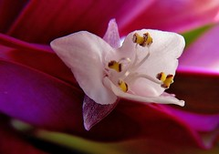 Flor de Maguey Morado/Boatlily Flower (jerodamor@yahoo.com.mx) Tags: flores naturaleza