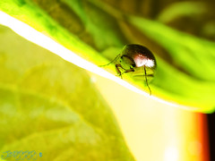 So! What Are You Offering? [Week 34, 2016] (Brian D' Rozario) Tags: brian19869 briandrozario nikon d7000 d7k macro closeup insect wildlife fauna leaf leaves green greenery nature natural habitat foodchain cls creativelightingsystem sb700 shell 522016week34 giveusyourbestshot