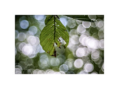 Photosynthesis Recharge! (silver/halide) Tags: trees beech beechtree beechleaf leaf tree bokeh sonyalpha a6000 minoltarokkormd3570mm35macro manualfocus oldglass legacylens nature photosynthesis johnbaker closeup dappledlight pendarves pendarveswoods