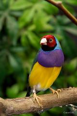 Gouldian finch (carloscosta77) Tags: bird birds gouldian finch zoo zoodamaia