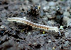 Little Spotted Millipede Blaniulus guttulatus (13 spots) (Bugldy99) Tags: millipede diplopoda animal nature outdoors myriapoda myriapod arthropod arthropoda