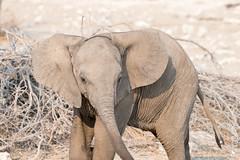 DSC_3918.JPG (manuel.schellenberg) Tags: namibia animal etosha nationalpark elephant