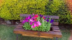Toowoomba Garden Tour - Carnival of Flowers (jlau_lau) Tags: flowers flower garden spring festival nature 花園 庭院 春 春天 hanami 賞花 花 花展 australia toowoomba carnival city country rural 鄉下 鄉村