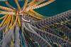 20160906-215315-132-Edit (andy_deitsch) Tags: bonyfishesosteichthyes cenderawasihbay clingfishesgobiesocidae fishes indonesia landingcraft manim marinelife crinoidclingfishdiscotremacrinophila