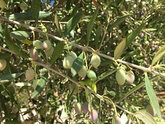 Olive grove on Crete (Greece) (Tjeerd) Tags: olivetree olives greece crete septemberholiday olivegrove holidayingreece greekholiday summeringreece