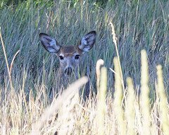 Fawn In The Grass (dcstep) Tags: f4a7099dxo aurora colorado unitedstates us cherrycreekstatepark allrightsreserved copyright2016davidcstephens dxoopticspro111 canon5dsr ef70200mmf4lis deer whitetaildeer fawn whitetailfawn twin grass shade