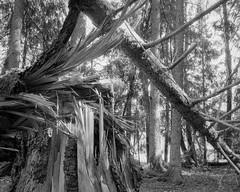 Bizarre (p2-r2) Tags: nikon f3 f3hp fiby urskog forest trees nature reserve blackandwhite film agfa apx 100 new emulsion nikkor28mmf28ais fallen trunk light shadows