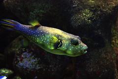 blubb. ( #cc ) (marfis75) Tags: fisch aquarium tief wasser unterwasser underwater water sea zoo punkte kugel kugelfisch fish meer meerwasser marfis75 cc ccbysa dark dunkel kugelfish