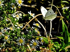 Cabbage White Butterfly & Wildflowers (--Anne--) Tags: butterflies butterfly whitecabbage plant flowers wildflowers nature insects