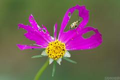 Guilty Conscience (Vie Lipowski) Tags: spottedcucumberbeetle diabroticaundecimpunctata cosmos beetle bug insect flower backyard wildlife nature macro