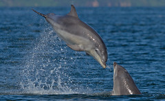 Dolphin Kiss (www.willdawesphotography.co.uk) Tags: dolphin will dawes bottlenose