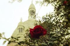 The rose of Montmartre (@) Tags: travel flowers paris france texture colorphotoaward mygearandme