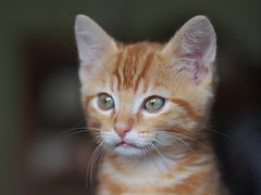 Cute Little Cat (Stephane Jouvelot) Tags: cats nature chat olympus greatphotographers em5 kittenmagazine bestofcats flickraward blinkagain bestofblinkwinners blinksuperstars boc0912