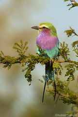 Ghiandaia marina pettolilla (andrea.marzorati) Tags: africa bird wildlife lilac roller kruger breasted