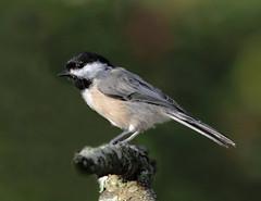 Carolina Chickadee (Poecile carolinensis) - Toms River, NJ (JFPescatore) Tags: specanimal coth5 elementsorganizer