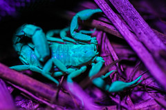 Scorpion in my Flower Bed (Hooker771) Tags: old blue light black night insect ouch cool scary ancient glow purple awesome uv sting violet creepy scorpion blacklight midnight hippie stinger ultra pincers pinchers