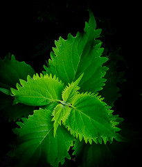 Green all the way. (Omygodtom) Tags: shadow green nature digital lens leaf nikon shades pdx kit 18105 d7000